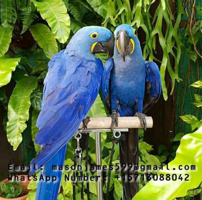 Buy Young And Friendly Blue and Gold, Hyacinth And other Macaws