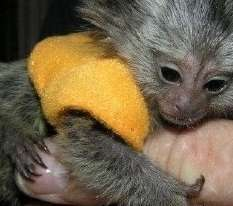 Marmoset Monkeys for sale and adoption whatsapp me at:+639164483693