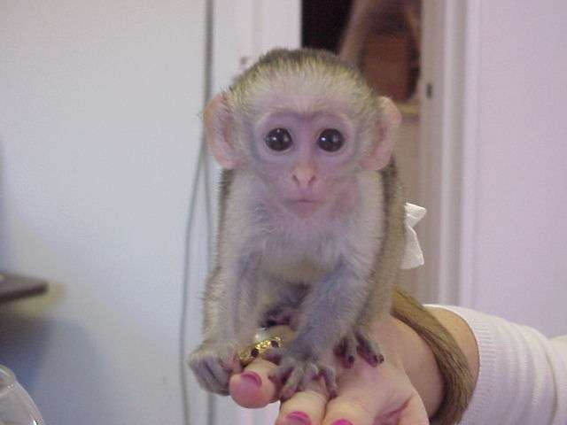 Capuchin Monkeys for sale and adoption.whatsapp me at:+639164483693