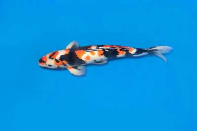 showa koi for sale - top quality 2 year old female
