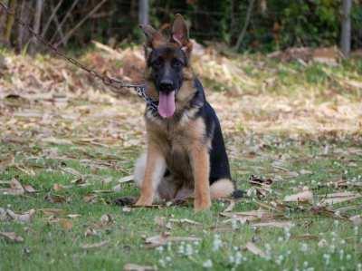 German Shepherd Puppy Available