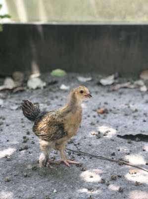 Beautifull Giant Brahma Chicken