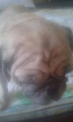 Very Tame Housetrained 8 yr Old Male Pug