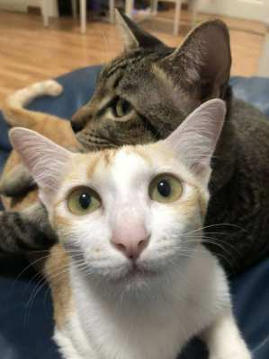 Two Beautiful Cats Free to Loving Home
