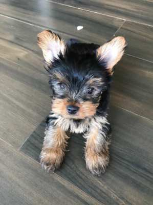 Yorkie Puppies (3 months old, fully vaccinated)