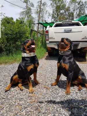 Rottweiler puppy only in good hands . No thai market dogs .