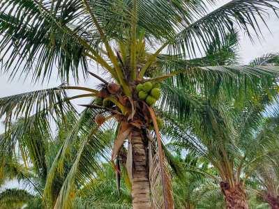 Nice 5 Rai Palm Oil Tree Plantation with Coconut Trees