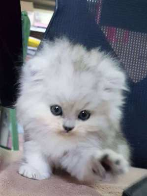 Genuine Homebred Persian Kittens for sale