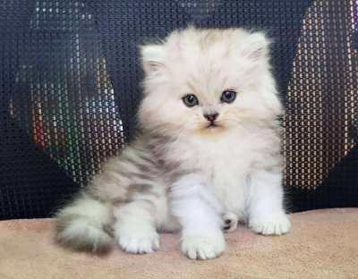 Genuine Homebred Persian Kittens for sale