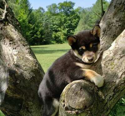 Excellent Shiba Inu puppies