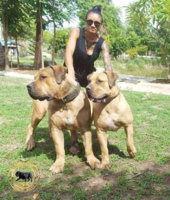 South African Boerboel Puppies