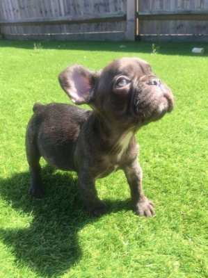 Cute Frenchies available