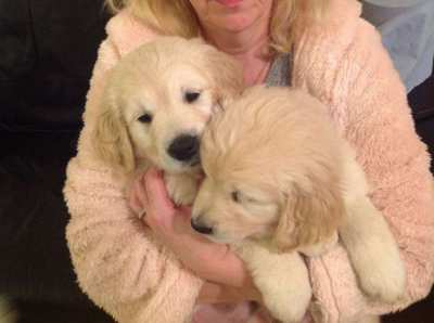 Fully healthy Golden Retriever puppies for  new homes