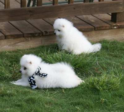 Two Lovely Japanese Spitz babies for sale