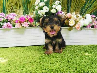 Gorgeous Yorkshire Terrier Puppies Male & Female for Sale