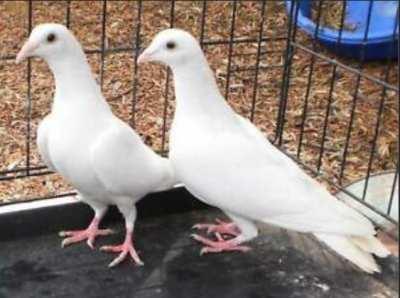 White Homing Pigeons / Racing Pigeons