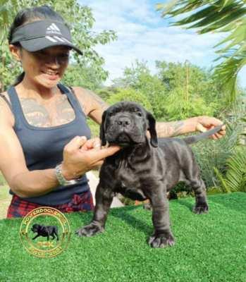 Bandog Puppies (Siam Molosser Line)