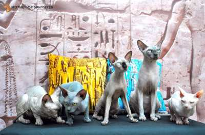 Sphynx cat Thailand - Mother of Sphynxes cattery