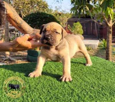 Three week Old PDK Bloodline Puppies