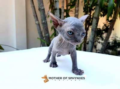 Sphynx cat breeder
