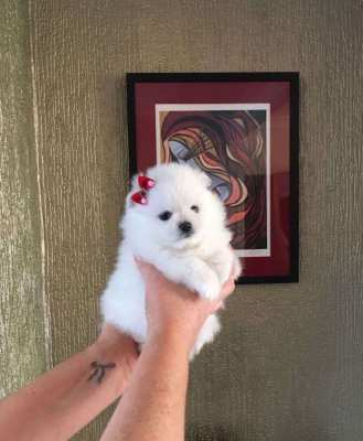 Beautiful Pomerania Puppies for sale