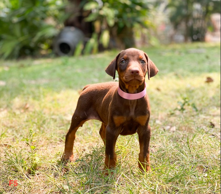Donating Red Doberman