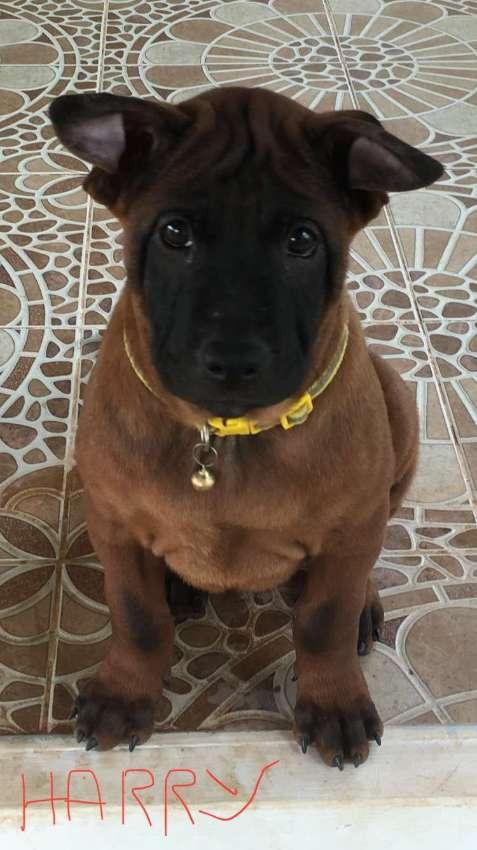 Quality Thai Ridgeback Puppies !