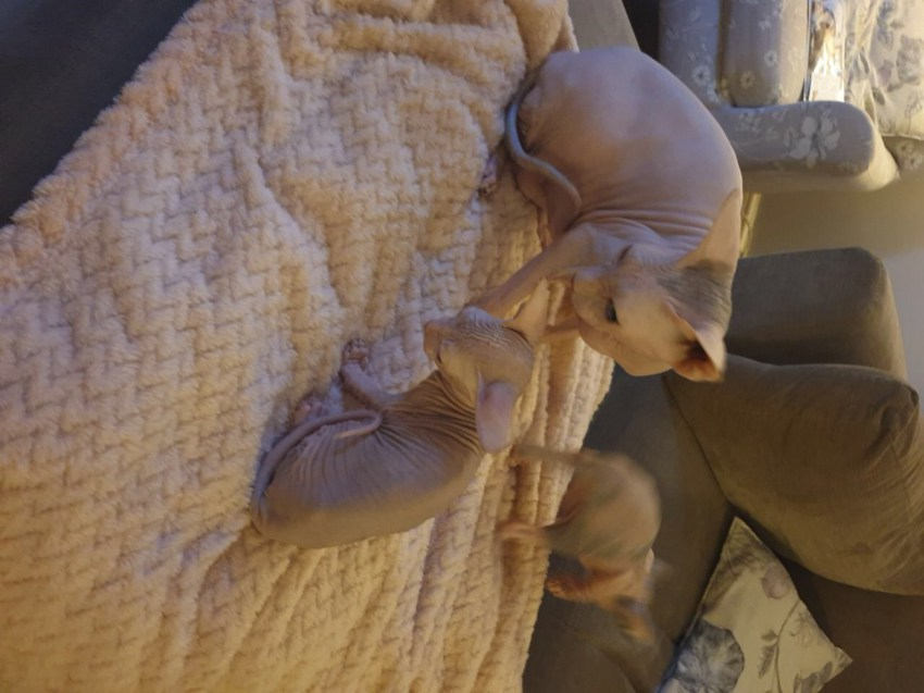 2 female Sphynx kittens for sale