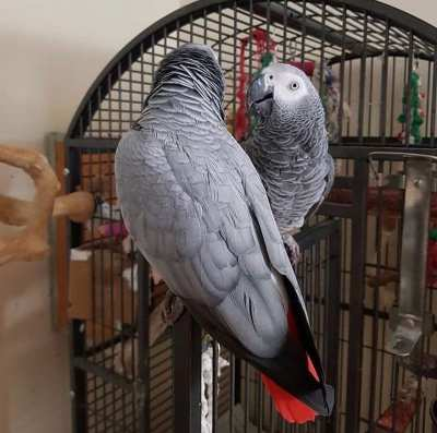 Outstanding African Grey Parrots available