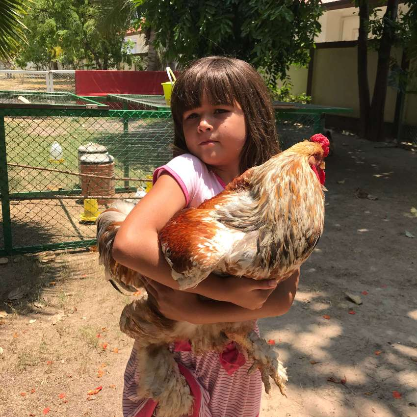 Giant Brahma chicken for free