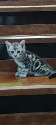 American shorthair silver tabby kitten