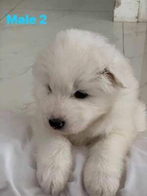 Purebred Samoyed puppies