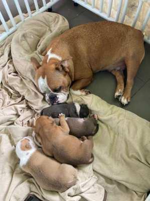 Amercan Bullie puppies