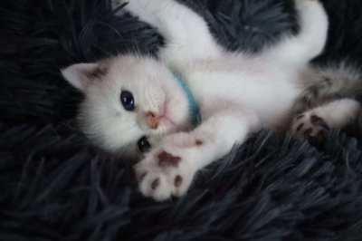 British Shorthair Kitten (WCF)  แมวบริติชช็อตแฮร์