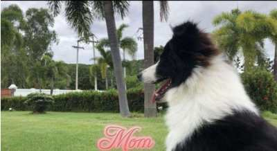 Two female Purebred Border Collies puppies