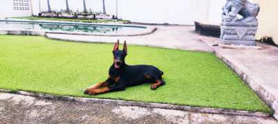 Doberman Female with excellent pedigree (3 month puppy)