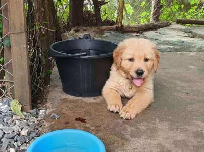 1 female golden retriever puppy